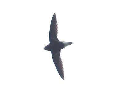 Purple Needletail