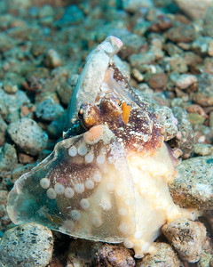 Vein Octopus with Eggs
