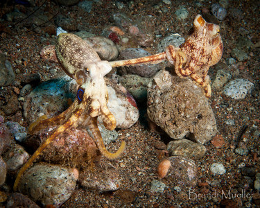 Poison Ocellate Octopus Mating
