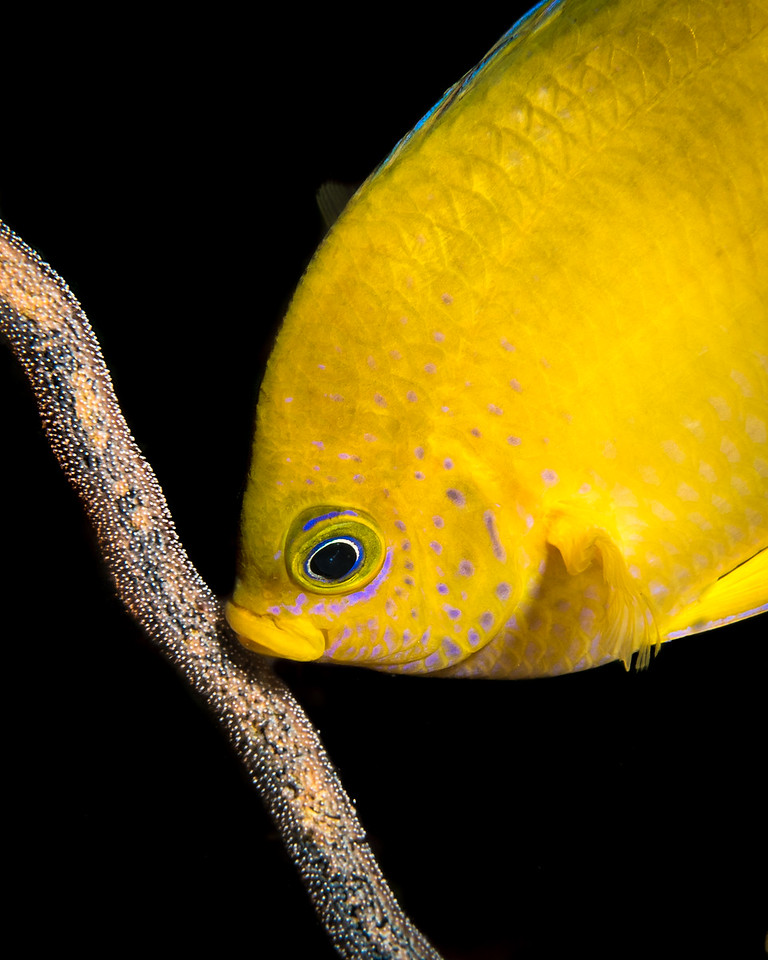 Golden Damselfish with Eggs
