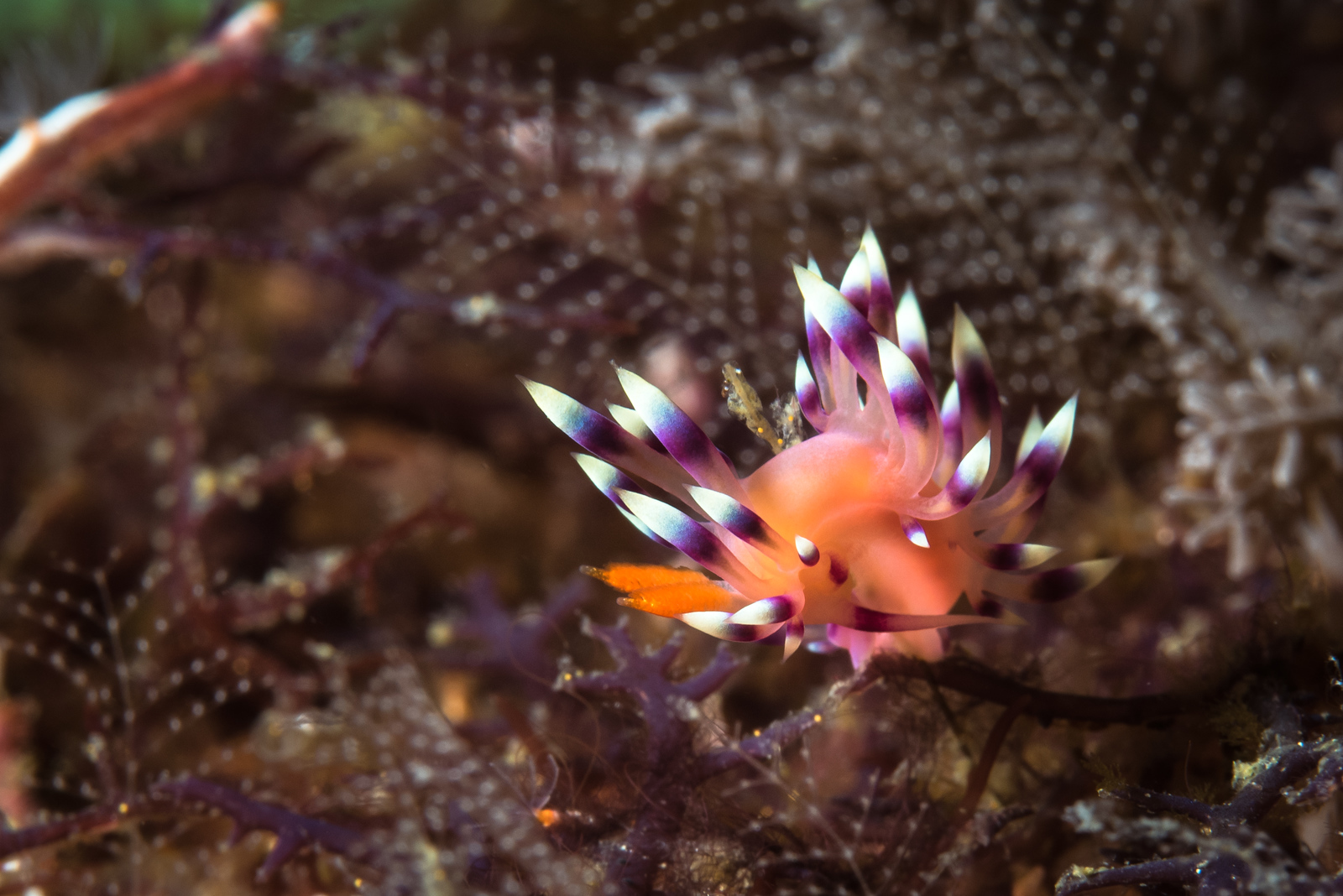 Desireable Nudibranch