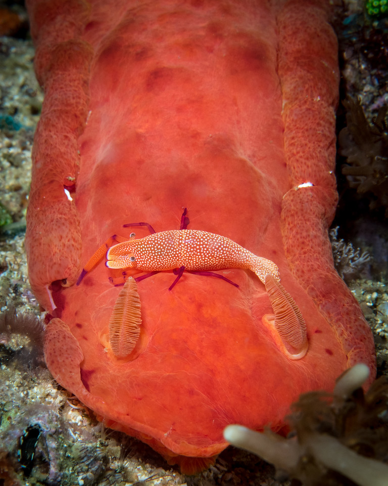 Spanish Dancer with Emperor Shrimp