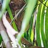 Tarsier in bamboo