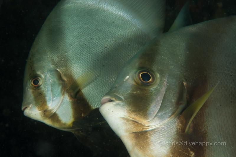 Batfish closeup, Anilao, Philippines