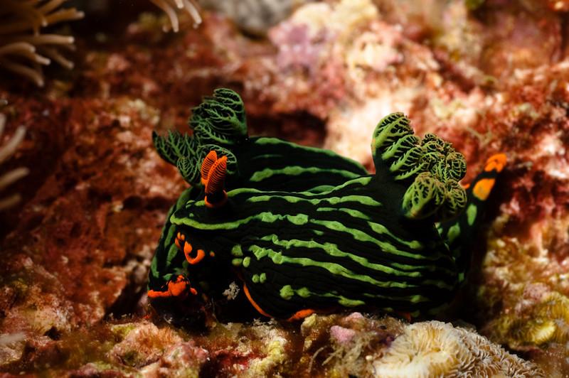 Nudibranches, Apo Island Philippines