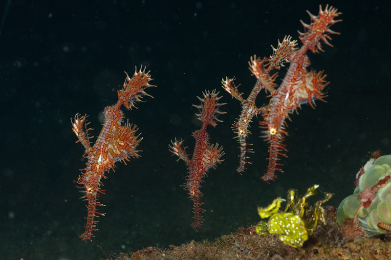 Ornate ghost pipefish, Dauin near Apo Island Philippines