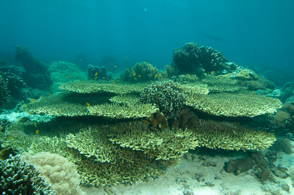 Diver and plate corals, Apo Island Philippines