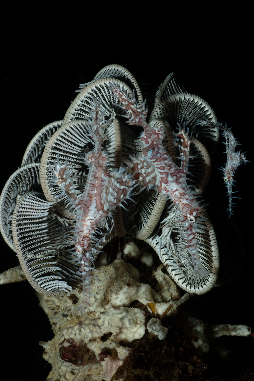 Ornate ghost pipefish, Dauin near Apo Island Philippines