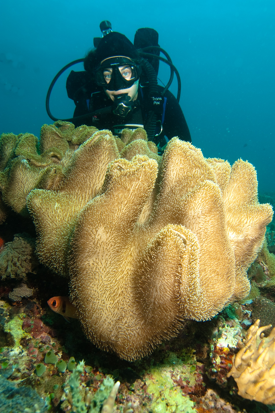 Diver and sponge coral, Apo Island Philippines