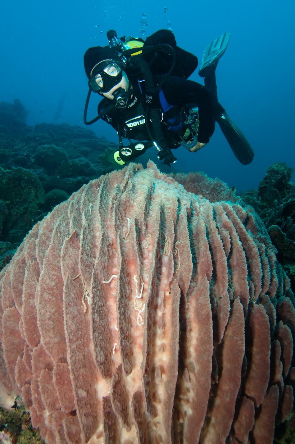Diver and barrel sponge, Apo Island Philippines