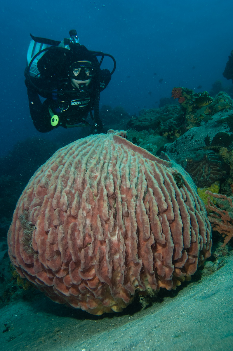 Diver and barrel sponge, Apo Island Philippines