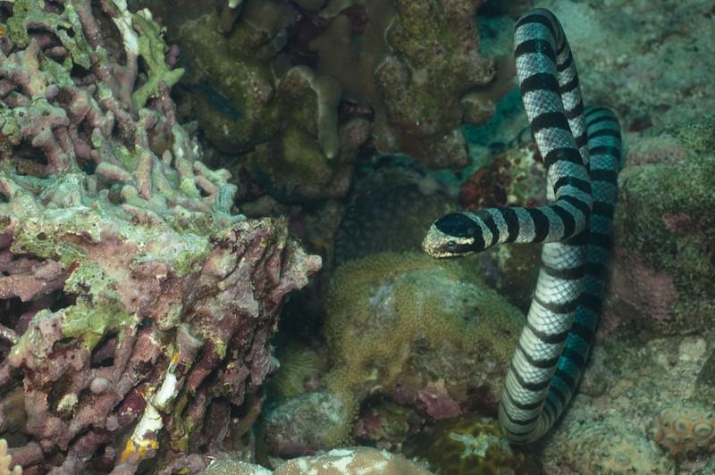 Sea snake, Apo Island Philippines
