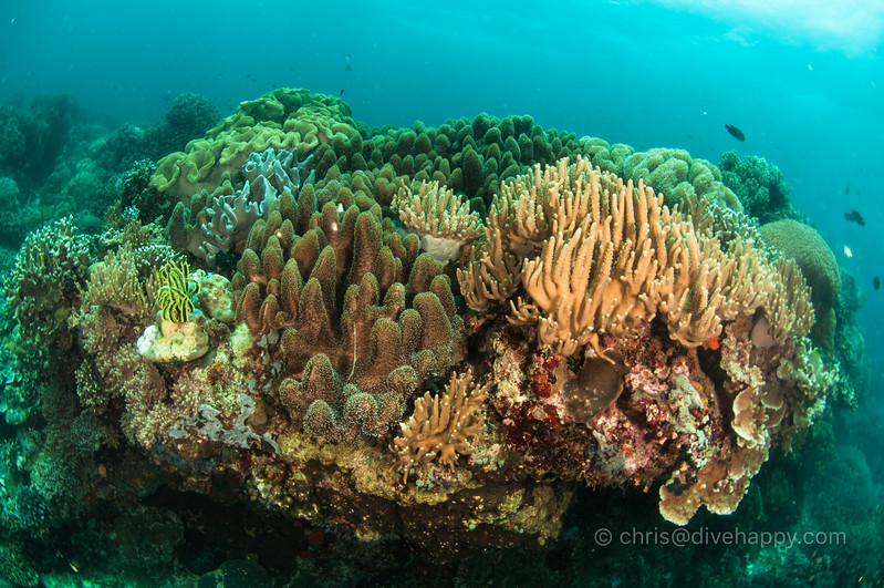 Coral bommie, Apo Island and Dumaguete, Philippines