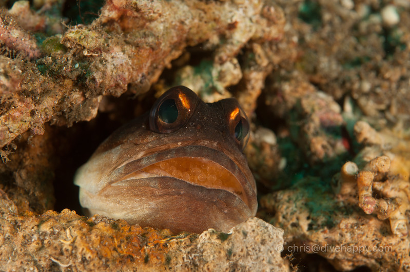Jawfish with eggs, Apo Island and Dumaguete, Philippines