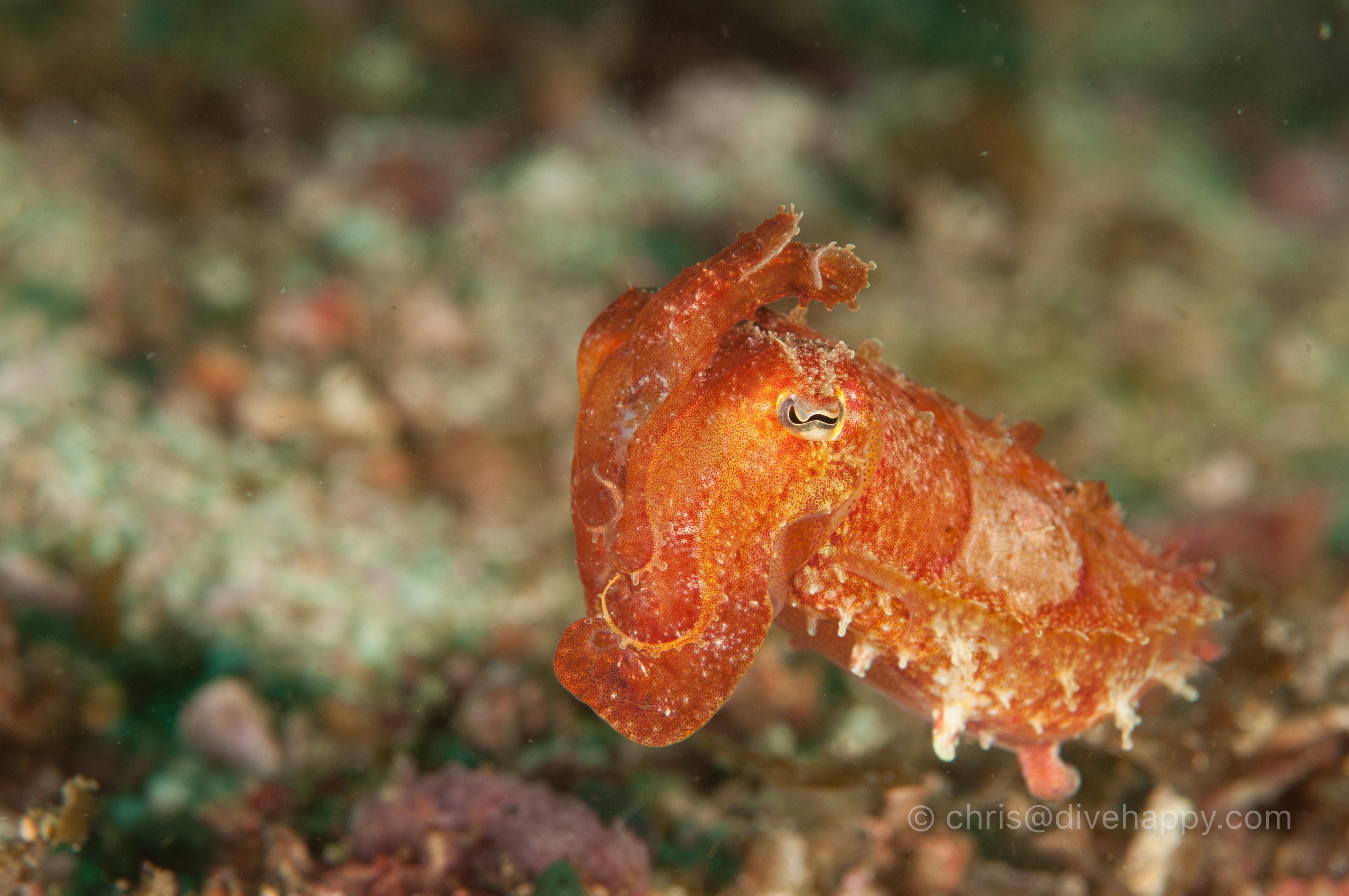 Tiny cuttlefish, Malapascua