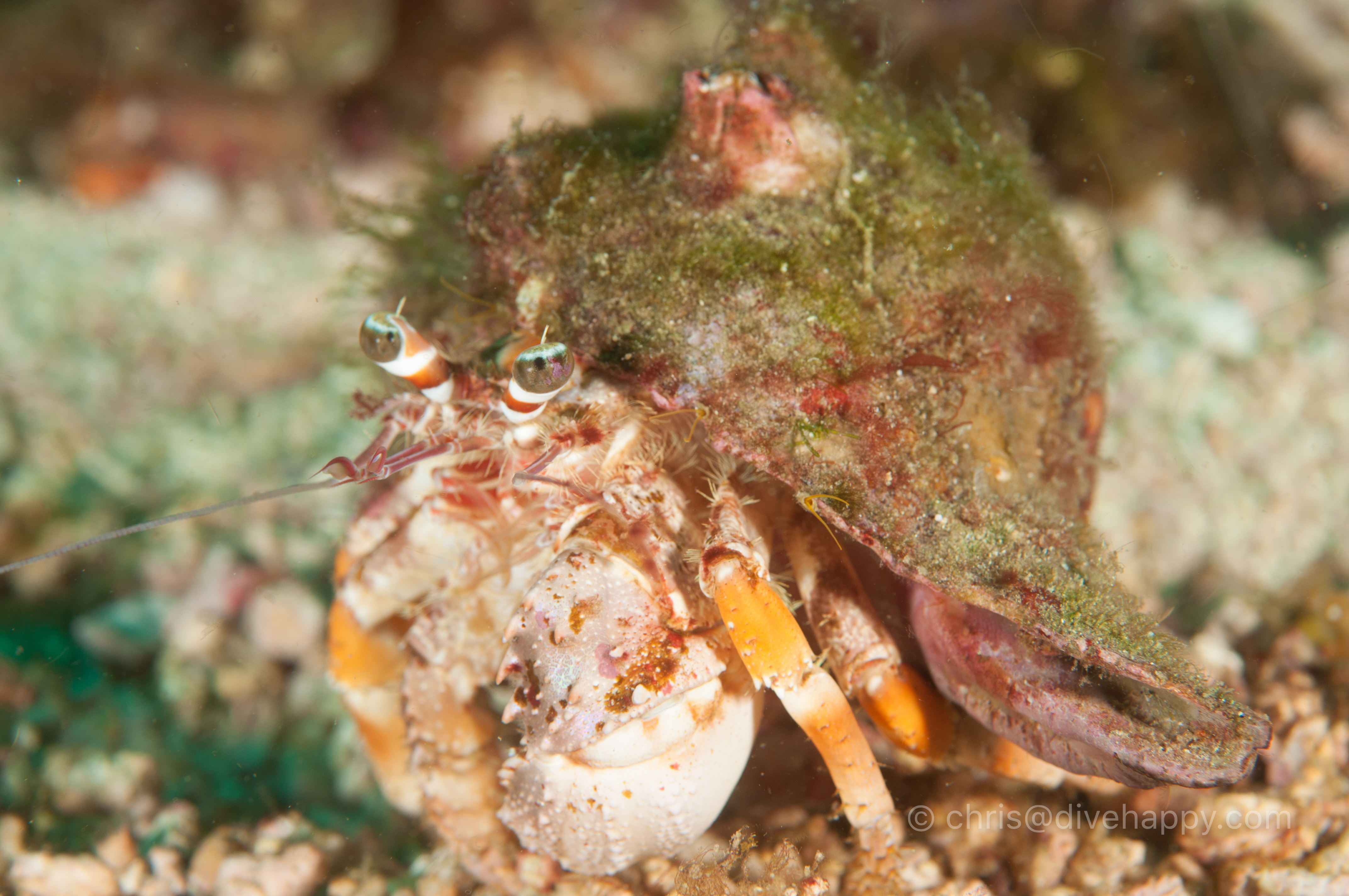Hermit crab, Malapascua