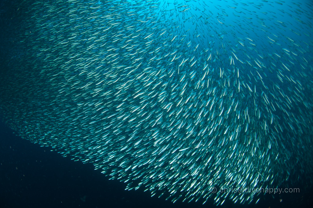 Sardines, Moalboal © Chris Mitchell