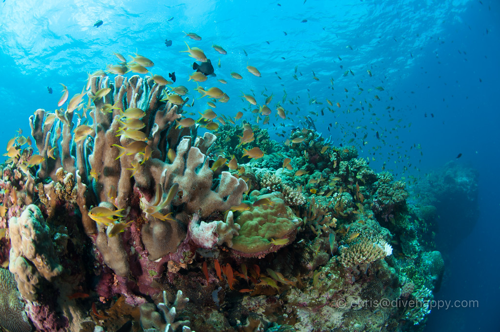 Anthias and corals, Pescador Island