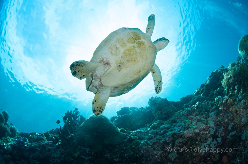 Turtle, Pescador Island, Moalboal