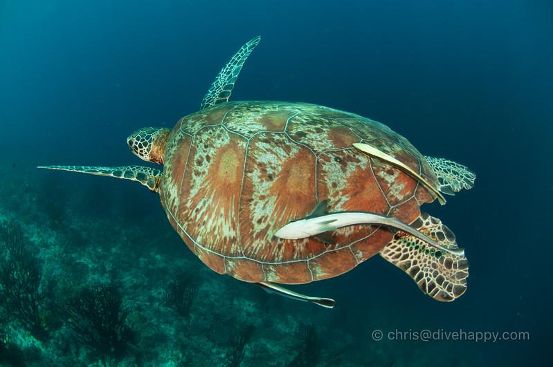 Turtle, Sogod Bay, Philippines