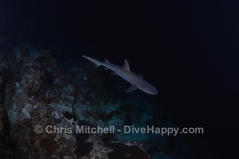 White tip shark, Tubbataha Reef, Philippines