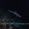 White tip shark, Tubbataha Reef, Philippines