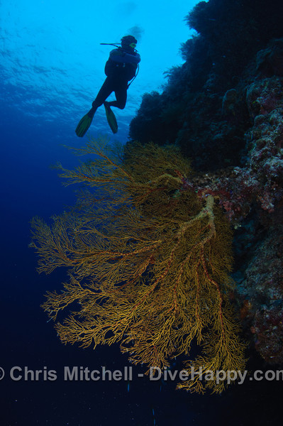 Diver and fan coral, Tubbataha Reef, Philippines
