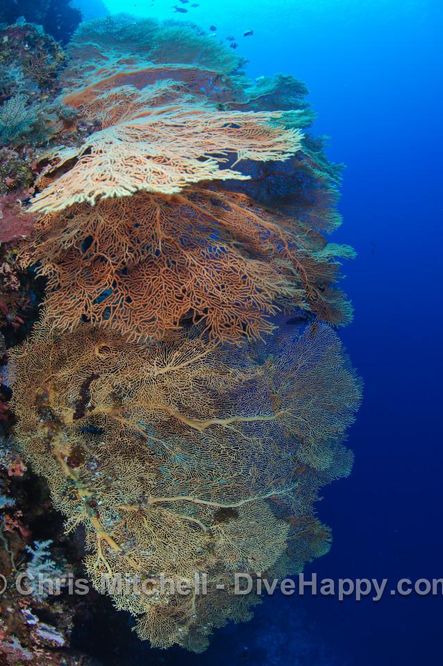 Sea fans, Calusa, Philippines
