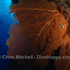 Diver and Gorgonian fan, Cagayancillo, Philippines