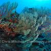 Sea fans, Tubbataha Reef, Philippines