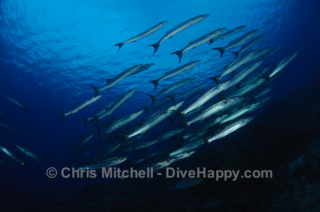 Chevron Barracuda, Tubbataha Reef, Philippines