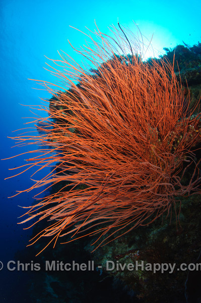 Whip Coral, Tubbataha Reef Philippines