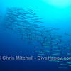 Chevron Barracuda, Tubbataha Reef, Philippines