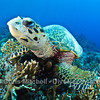 Turtle Gets Up Close, Tubbataha Reef Philippines