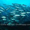 Jacks schooling, Tubbataha Reef, Philippines