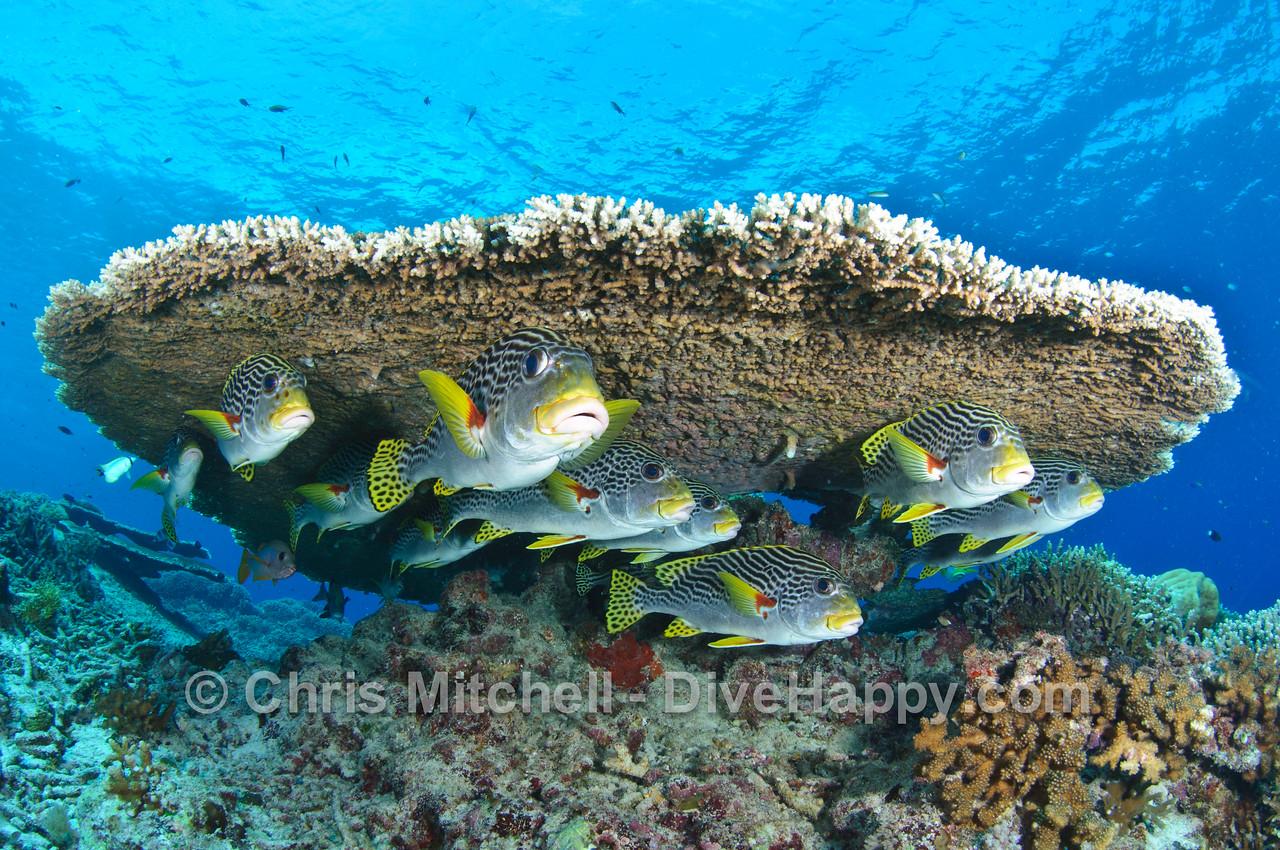 Sweetlips beneath a table coral, Tubbataha Reef, Philippines
