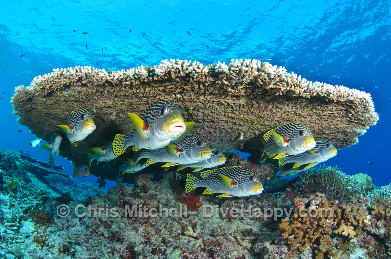 Sweetlips beneath a table coral, Tubbataha Reef, Philippines