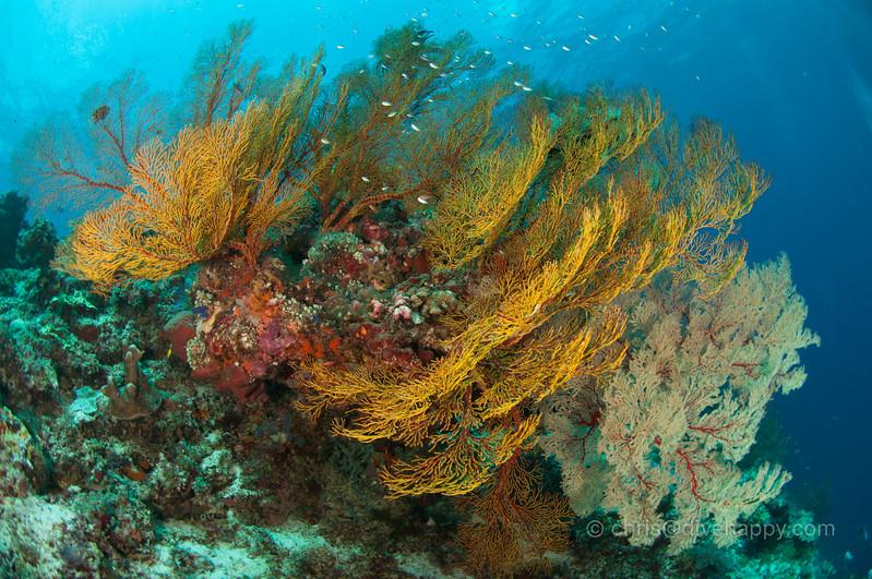 Gorgonian Seafans, Tubbataha Reef, Philippines