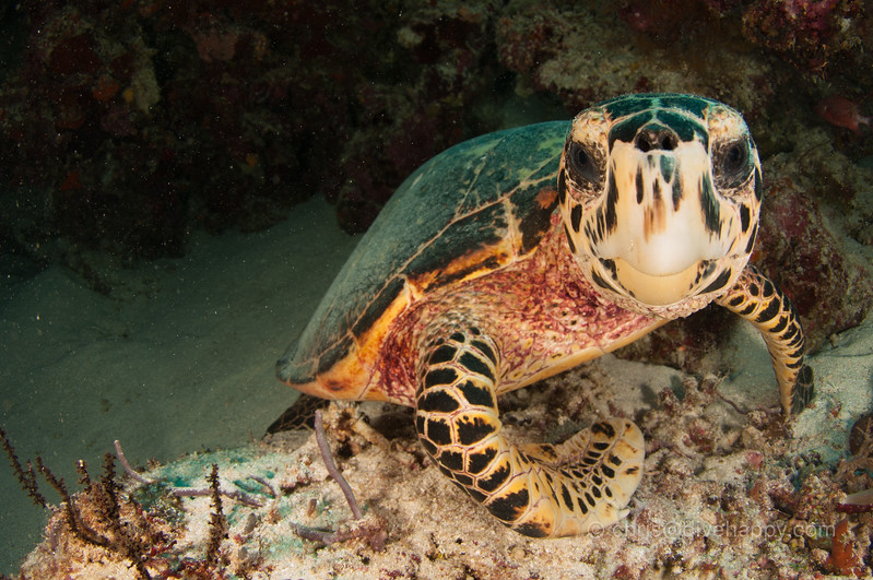 Turtle close up, Tubbataha Reef, Philippines