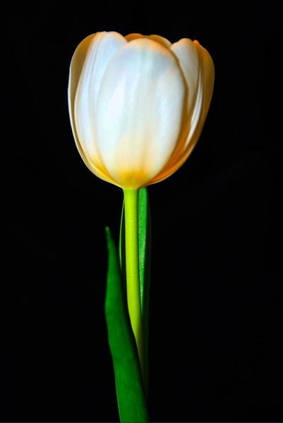 009 V-Day Tulip
