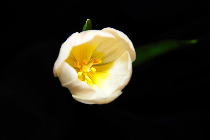 003 V-Day Tulip 2
