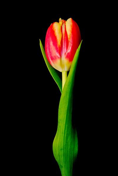 002 Valentine Tulip 2008