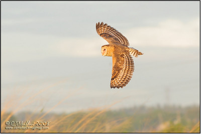 Grass Owl (Tyto capensis)