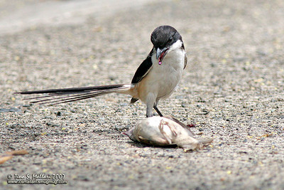Long Tailed Shrike with it's prey, a eurasian tree sparrow