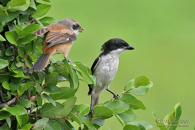 Long Tailed Shrike (immature on the left and adult on the right)