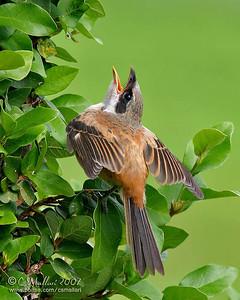 Long Tailed Shrike (immature)
