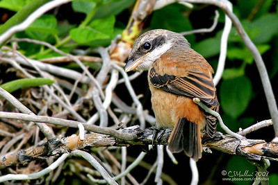 Long Tailed Shrike (immature)