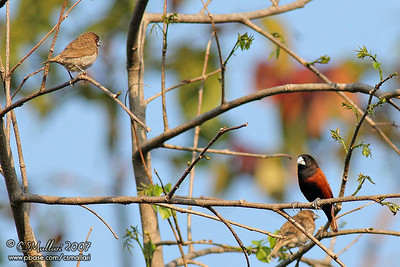 Scaly-Breasted Munia & Chestnut Munia