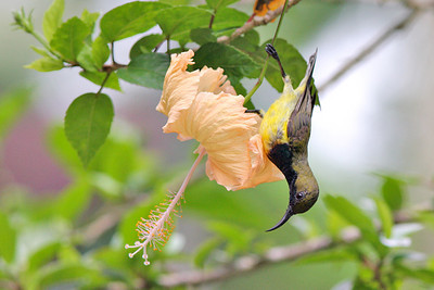 Olive-backed Sunbird (Nectarinia jugularis) male