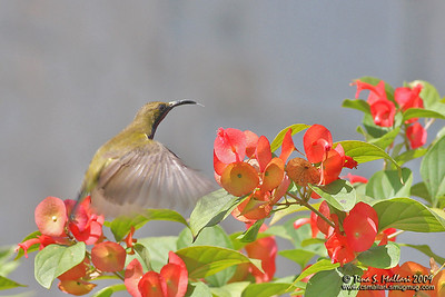Olive-Backed Sunbird (Nectarinia jugularis) Philippines tina mallari bird csmallari ayala alabang village